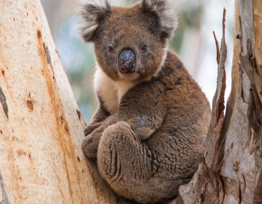 Australian Explorer Fiji